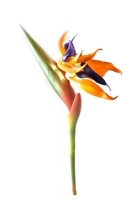 Цветок Даршан Стрелиция 92 см (26392)